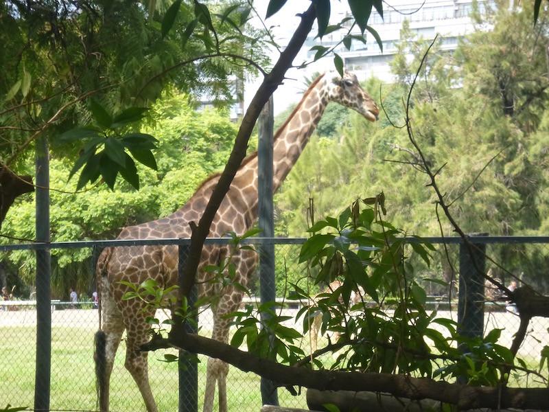 Buenos Aires zoo giraffe